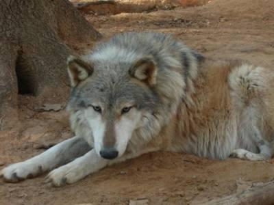 ARIZONA HYBRID ASSOCIATION  PROPER DIET FOR THE WOLFDOG