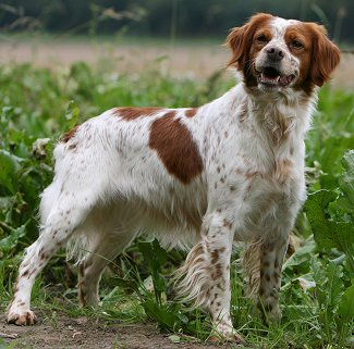 Brittany Spaniel Dog Breed Information and Pictures