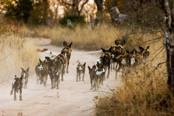 Африканская дикая собака (гиенотовидная собака)
