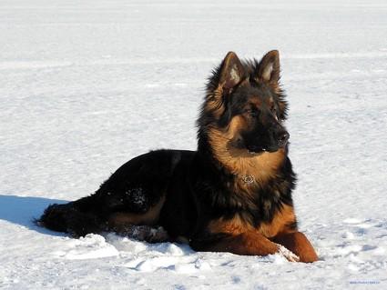 Ходская собака, богемская овчарка, чешская собака, чешская овчарка