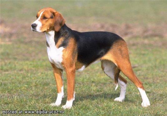 ������� ����� �� � �� � - <strong>�������</strong> ����� <strong>������</strong>, Russian piebald hound
