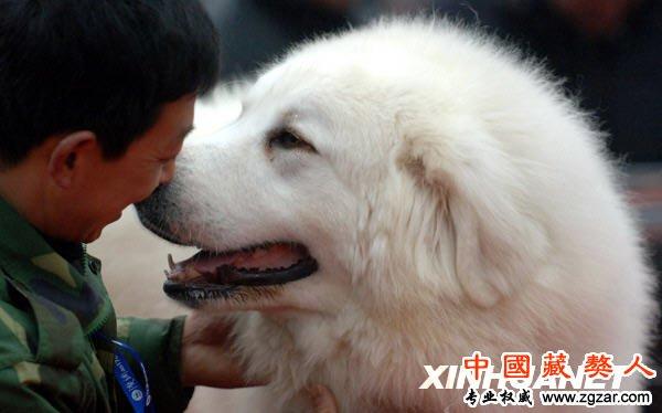 White Tibetan Mastiff for Pinterest