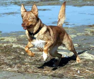 Американская индейская собака