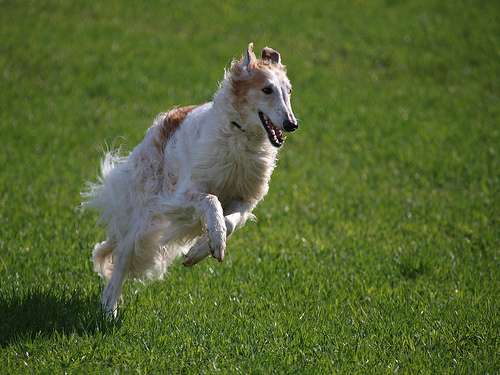 Russian Wolfhound Borzoi By Draggincat | Dog Breeds Picture