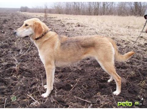 ������� ����� �� � �� � - <strong>������� ������</strong>, Russian Hound