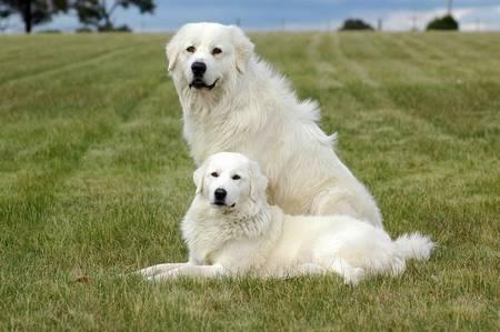 Мареммано абруззейская пастушья собака (маремма)